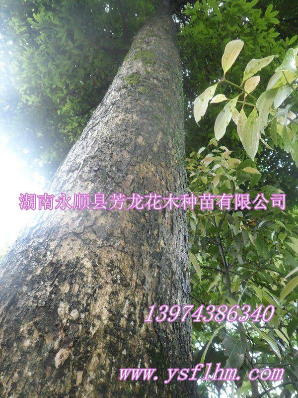 楠木是常绿大乔木,树干通直,高达30m以上,胸径1mm.
